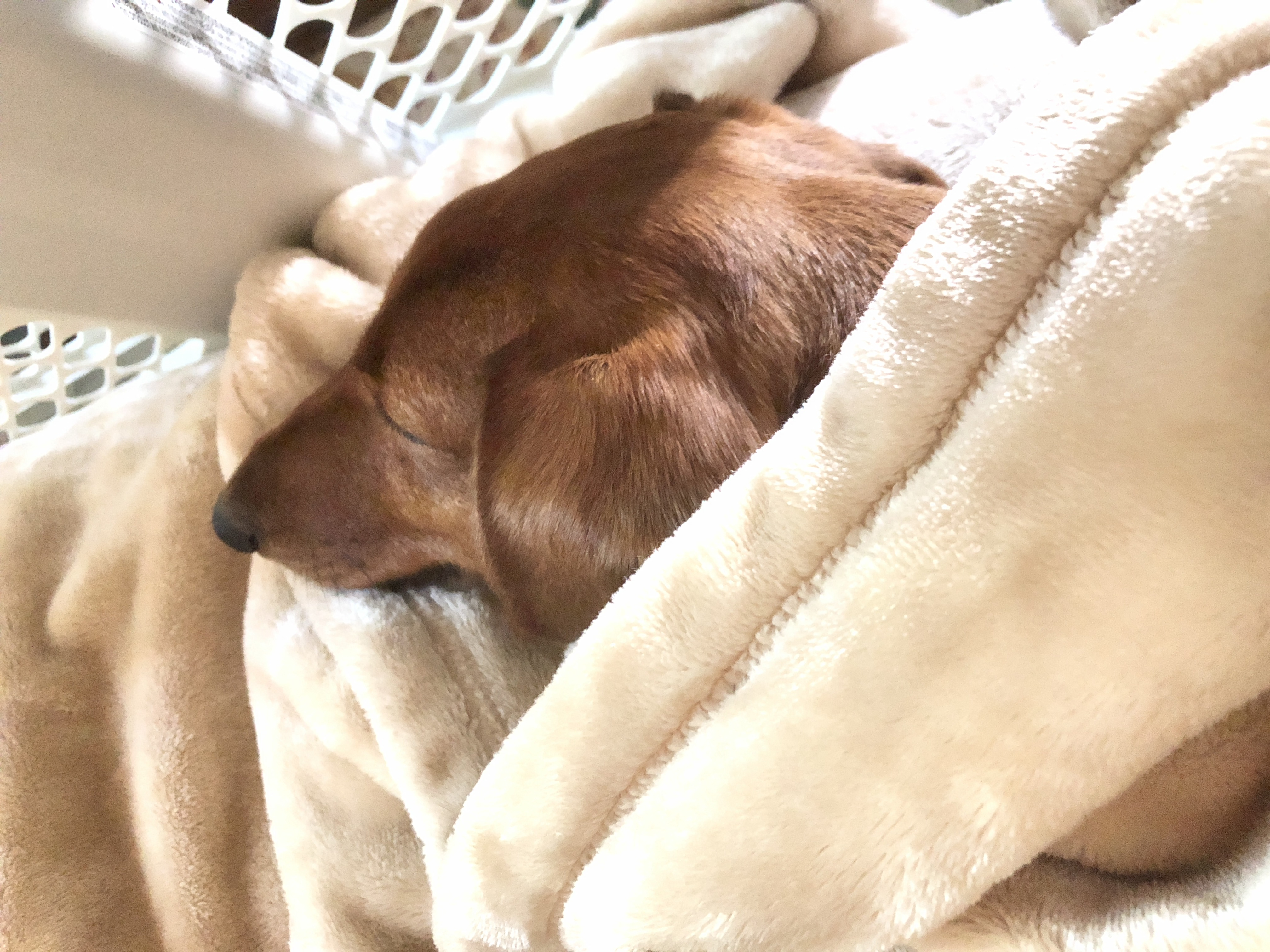 Short haired red dachshund in a yellow blanket.