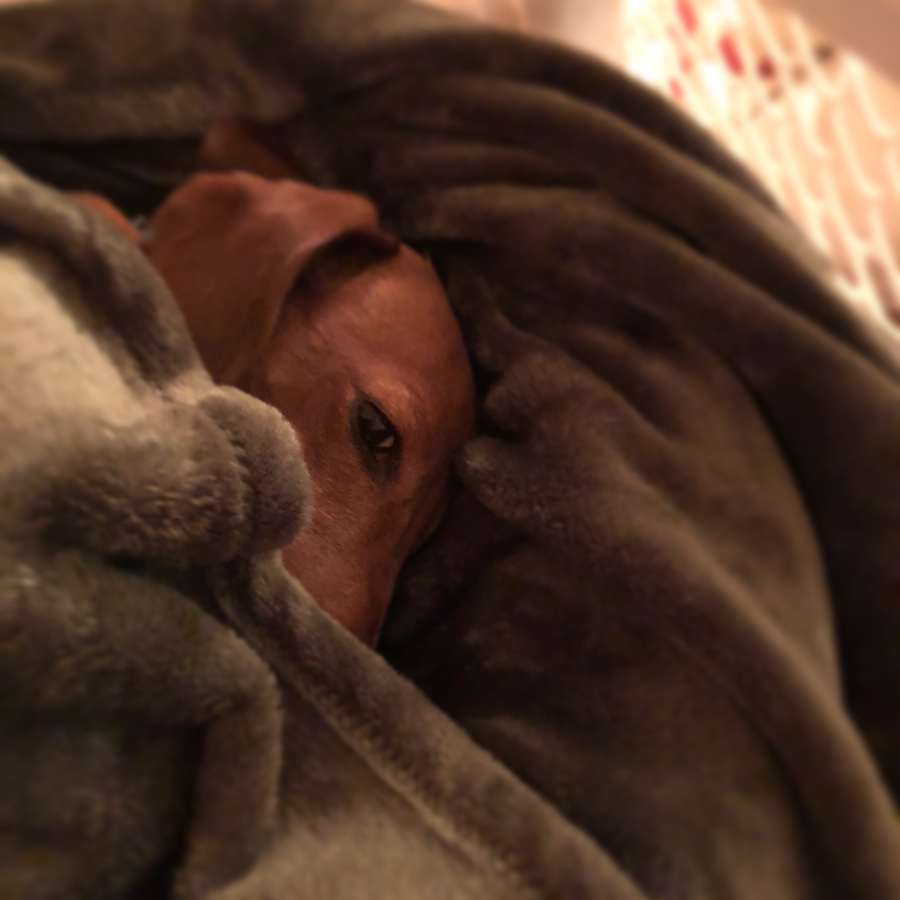RoyRoy the dachshund snuggled under a green blanket
